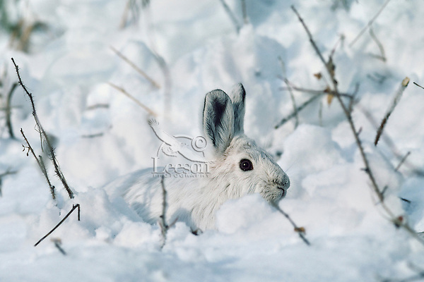 Snowshoe hare or varying hare (Lepus americanus), Winter