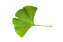 A leaf from a Ginkgo tree, (Ginkgo biloba) also known as the maidenhair tree. The ginkgo is a living fossil and is recognisably similar to fossils dating back 270 million years. Photographed on a white background. Native to China. website