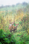 Hog deer and fawn, Southeast Asia