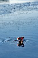 Woman digging for clams in Tallamook Bay. Garibaldi. Oregon