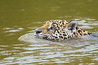 Jaguar (Panthera onca), swimming in river, Pantanal, Mato Grosso, Brazil, South America