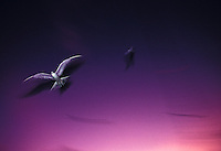 Sooty terns, known in Hawaii as an ewa ewa, inflight with purple and pink sky with long exposure and ghost images