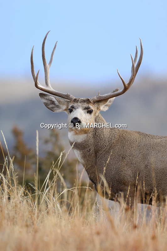 00270-005.07 Mule Deer buck with large antlers is on rise in typical habitat.   Hunt, stalk, Badlands, prairie, sage, coulee.