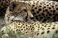 Cheetah Acinonyx jubatus San Diego Wild Animal Park
