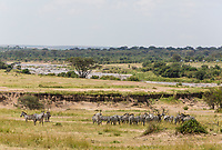 Tanzania. Serengeti. Plains Zebras Approaching Mara River on their Migration North.  Tourist Vehicles on far right are awaiting choosing a good vantage point.