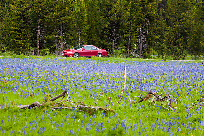camas flowers fill packer meadows on the lewis and clark trail on the montana idaho border at lolo pass