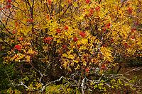 Mountain Ash, Sorbus Americana, Bald Mt, High Peaks Region, Adirondack Forest Preserve, New York