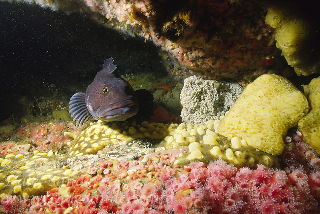 Male lingcod (Ophiodon elongatus) guarding its eggs, underwater off Quadra Island, British Columbia, Canada.