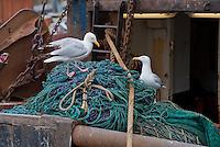 Seagulls feeding on fishing nets at Eyemouth Harbour, Scottish Borders.