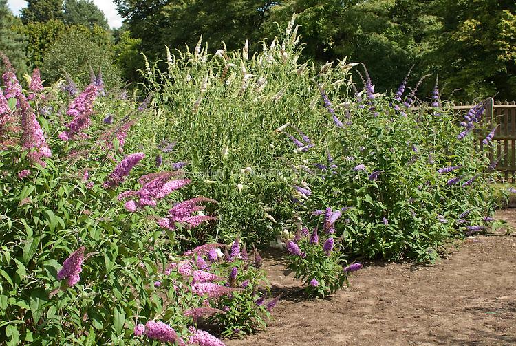 Pink, white, purple Butterfly bushes together Buddleja davidii