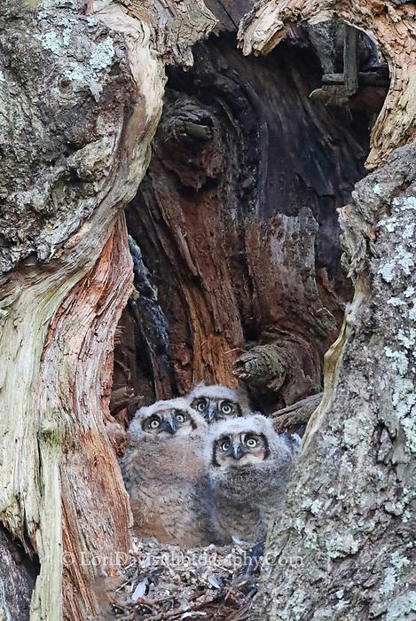 Three great horned owl chicks in tree cavity nest.