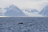 Fin Whale Balaenoptera physalus Surfacing near Glacier on Spitsbergen Arctic Norway North Atlantic