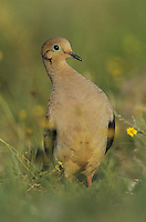 Mourning Dove, Zenaida macroura,adult in Wildflowers, Starr County, Rio Grande Valley, Texas, USA, May 2002
