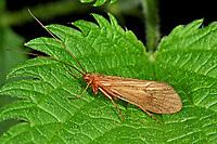 Köcherfliege, Quellbach-Köcherjungfer, Drusus annulatus, Köcherfliegen, caddisfly, sedge-fly, rail-fly, caddisflies, sedge-flies, rail-flies, Trichoptera