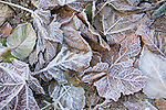 Layers of fallen leaves and grass covered in heavy frost display an abstract beauty in nature. Bonner County, Idaho.