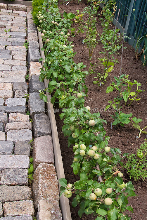 Low-growing Dwarf trellised apple Malus fruit in garden with tomatoes and other vegetables in garden, good brown dirt soil, stone patio walk, intermixed growing together