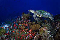 A Hawksbill Sea Turtle (Eretmochelys imbricata) swims among a school of anthias on a coral reef off New Britain Island, Papua New Guinea.