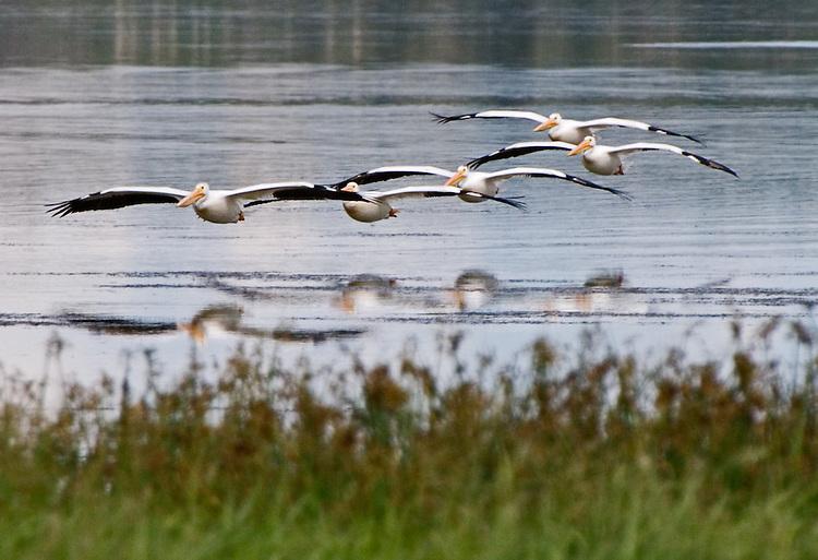 American white pelicans landing on Astotin Lake