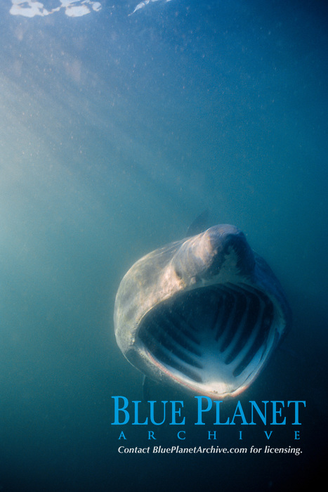 basking shark, feeding, Cetorhinus maximus, Bay of Fundy, Canada, North Atlantic Ocean