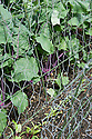 Young kohlrabi plants growing under wire netting to protect against birds, mid June.