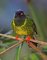 Male green-and-black fruiteater