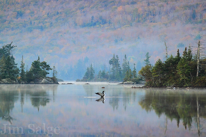 While setting up for a landscape shot of the islands at Long Pond in the early light, I noticed a family of loons moving across the water.  I adjusted my settings for a faster capture, and was treated to this phenomenal display!  The muted tones and morning mists create a great color palate in the backdrop!