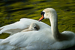 Cygnet riding on swan's back by John Fan