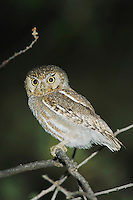 Elf Owl, Micrathene whitneyi, adult, Madera Canyon, Arizona, USA