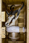 Springbok (Antidorcas marsupialis) trophy hunted male ready for transport, South Africa