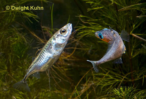 1S47-614z  Threespine Stickleback, male courting gravid female with a zigzag dance, she responds with a head-up posture to display her swollen belly, Gasterosteus aculeatus, Freshwater male - Marine female.
