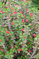 Crown of thorns Euphorbia milii in red flowers