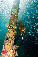Longfin spadefish, Platax teira, under a jetty, surrounded by schooling fish, Raja Ampat, West Papua, Indonesia, Pacific Ocean
