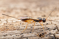A female braconid wasp (Braconidae) explores the surface of a decaying tree.