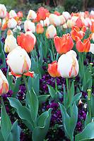 Stock photo: vertical image of white and orange tulips in Atlanta botanical garden, Georgia US during spring.