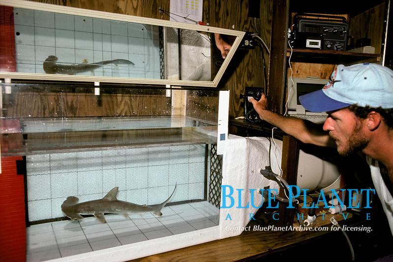 scientists measure metabolism of scalloped hammerhead shark, Sphyrna lewini, Kane'ohe Bay, Oahu, Hawaii, USA, Pacific Ocean