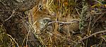 Torres del Paine National Park, Chile South American gray fox (Lycalopex griseus)