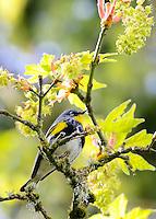 Audubon warbler also known as a yellow-rump warbler Audubon sitting on a branch