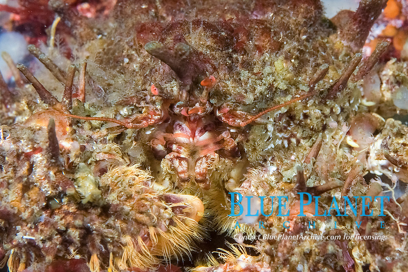 Heart Crab, Phyllolithodes papillosus, Port Hardy, Vancouver Island, British Columbia, Canada, Pacific Ocean