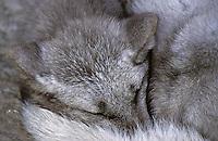 Polarfuchs, Eisfuchs, Polar-Fuchs, Eis-Fuchs, schlafend, Alopex lagopus, Arctic fox, Renard polaire, Weißfuchs, Blaufuchs