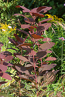 Cotinus 'Grace' in early September