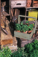 Herbs planted near rustic tool storage area, wooden trug, tools, pots of geraniums, orgazined old things