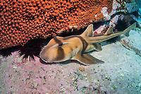 Port Jackson Hornshark, Heterodontus portusjacksoni, endemic, Montague Island, Narooma, New South Wales, Australia, South Pacific Ocean