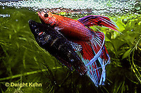 BY05-162z  Siamese Fighting Fish - male mating with egg laden female - Betta splendens