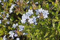 Kap-Bleiwurz, Kapbleiwurz, Bleiwurz, Plumbago auriculata, Plumbago capensis, Blue plumbago, Cape plumbago, Cape leadwort