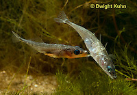 1S47-559z Threespine Stickleback, male courting gravid female with a zigzag dance, she responds with a head-up posture to display her swollen belly, Gasterosteus aculeatus