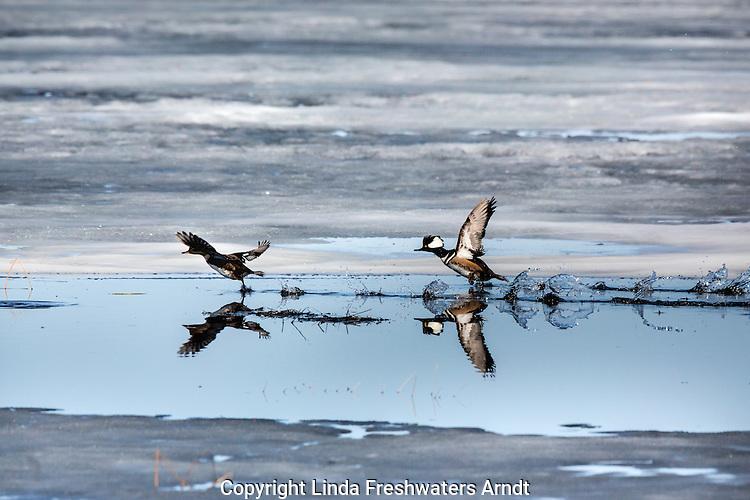 Hooded mergansers taking flight