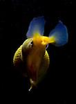 Blue Ribbon Eel, Rhinomuraena quaesita, Lembeh Straits, Sulawesi Sea, Indonesia, Amazing Underwater Photography