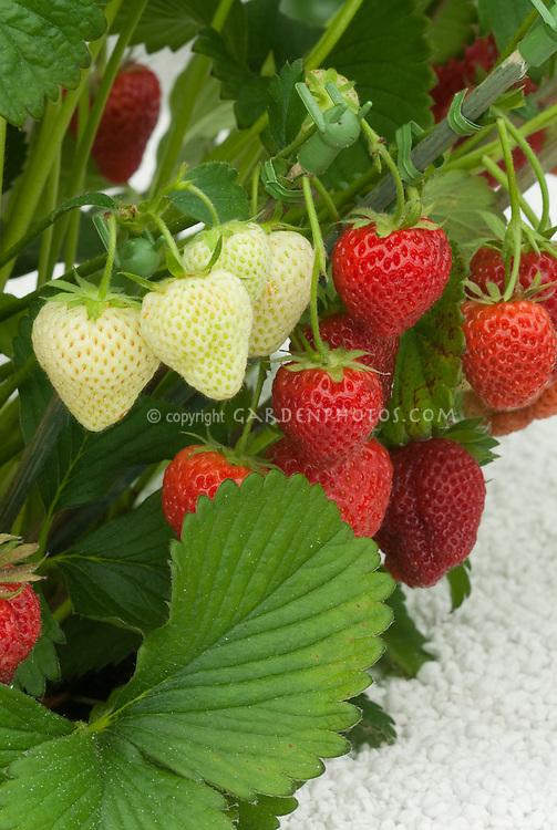 Strawberry 'Tristar' everbearing