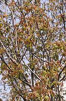 Walnuss, Walnuß, Wal-Nuss, Wal-Nuß, Blüten, blühend, Blütenkätzchen, Juglans regia, Walnut, Noyer commun