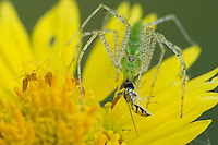 Green Lynx Spider, Peucetia viridans, adult on Golden Crownbeard (Verbesina encelioides)eating Hoover Fly,Willacy County, Rio Grande Valley, Texas, USA